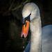 Mute Swan by Paul Kaye