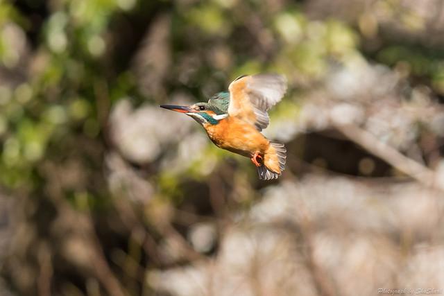 20180203-kingfisher-DSC_6946