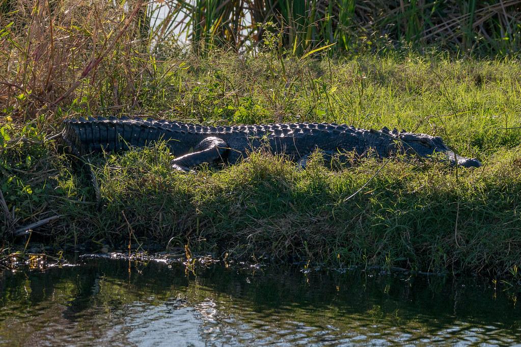 American_Alligator_P1410805