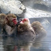 Snow Monkey Park Japan 2018, group grooming in the onsen WM