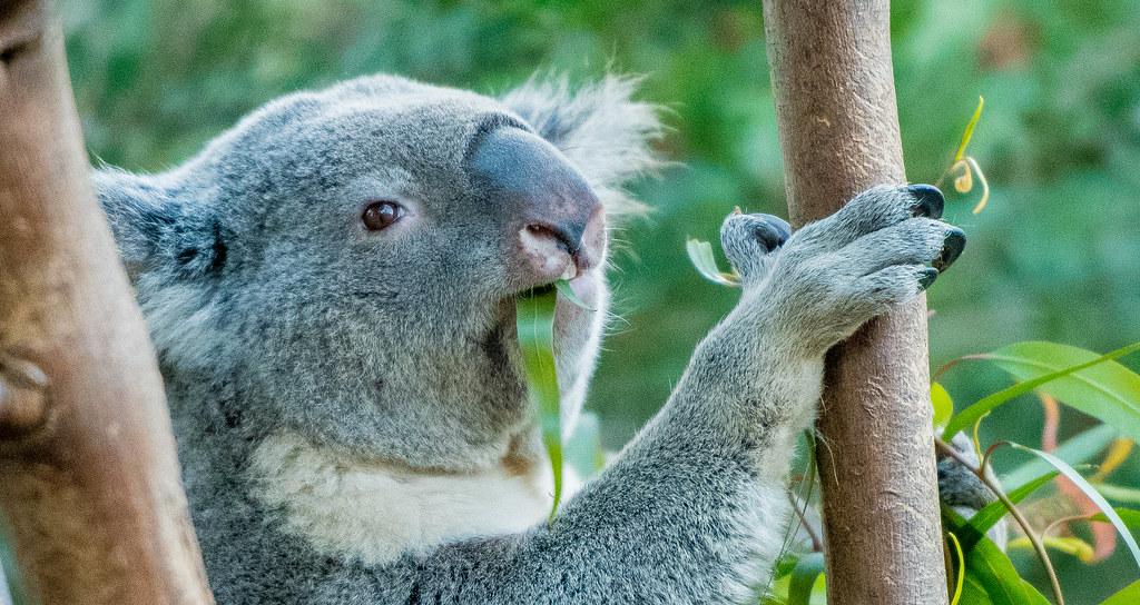 Koala_8