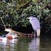 Heron and shovellers, boating lake