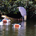 Heron and shovellers, boating lake
