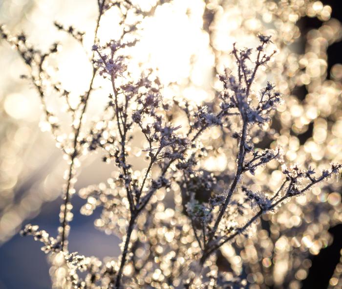 luontokuvaus luonto valokuvaus takavalo vastavalo vastavaloon kuvaaminen nature photography back light talventörröttäjä taidekuva art photography