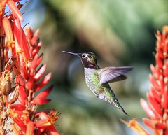 A better shot of a new #Hummingbird visitor to my yard!