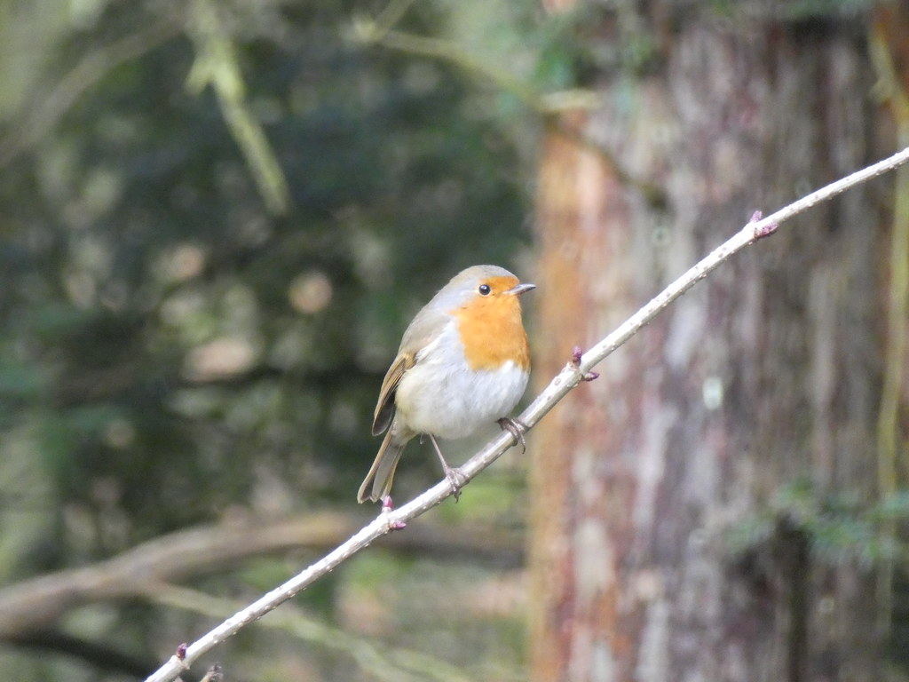 Robin on the Bolton Abbey Estate