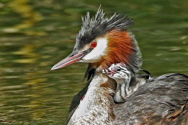 Great Crested Grebe and Baby.