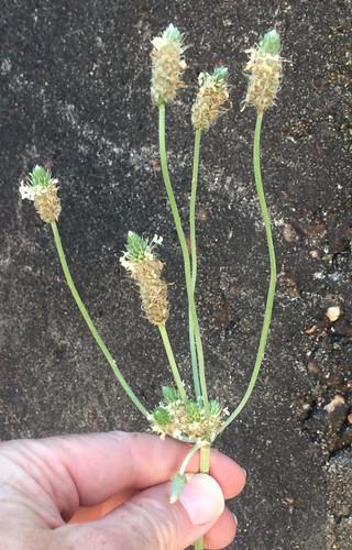 Plantain Lanceolate