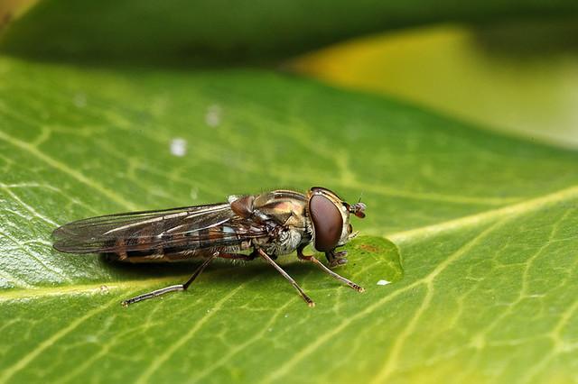 Hoverfly Episyrphus balteatus #3