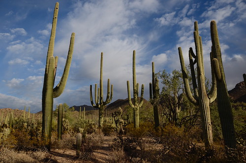 Tucson Gilber Ray Brown Mountain a saguaro forest