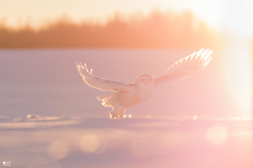 ''Lumineuse brise!'' Harfang des neiges-Snowy owl