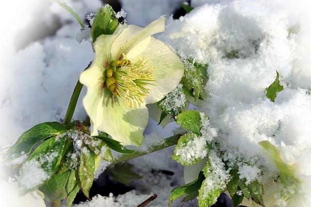 Mes hellébores sous la neige