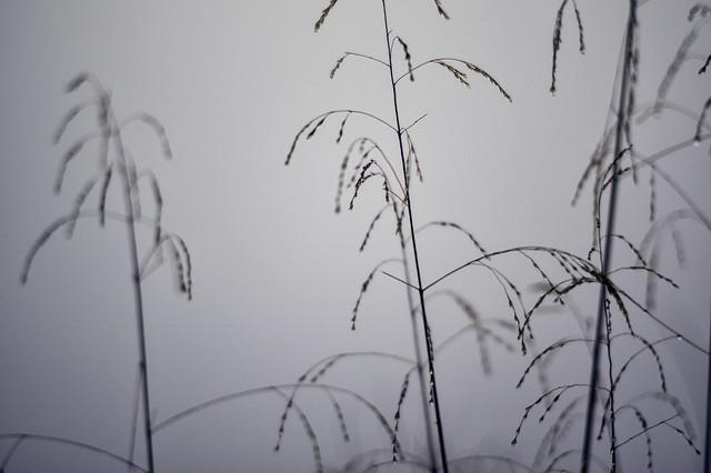 Tall, wet grass