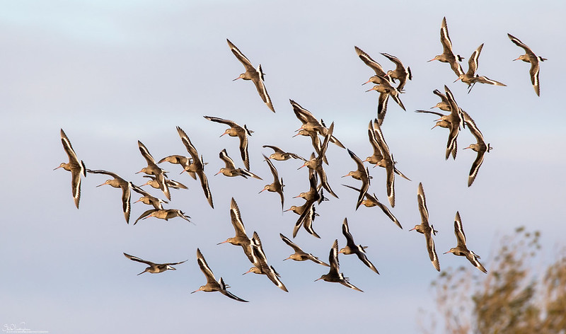 Flight Of Black-Tailed Godwits