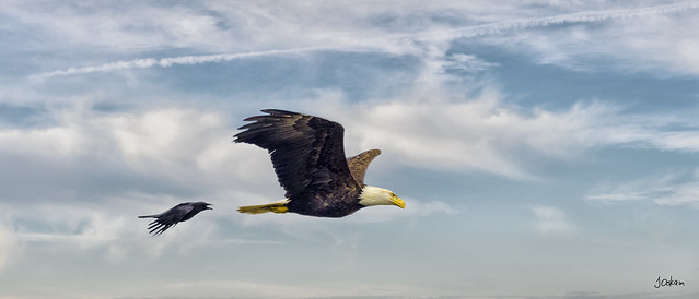 Bald Eagle & Crow