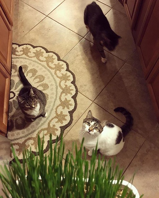 Cat grass brings everyone to the kitchen 🌱🌱🌱🐯🐱🌱🌱🌱