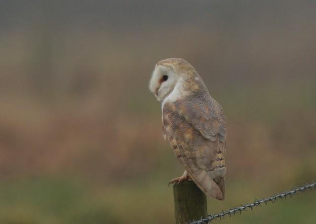 Barn Owl resting, Nikon D7100, AF-S VR Nikkor 300mm f/2.8G IF-ED II