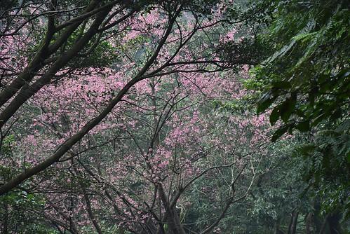 大尖山登山步道-彌勒山天道清修院-櫻花
