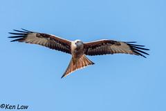 HolderRed Kite