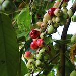 Syzygium malaccense fruit
