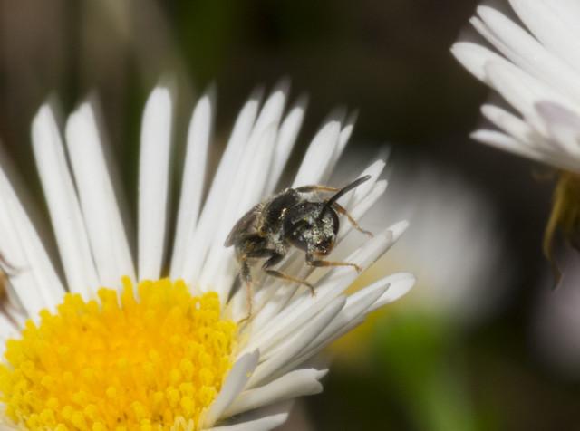 Native Honey Bee, Trigona, Nikon D3400, AF Micro-Nikkor 105mm f/2.8