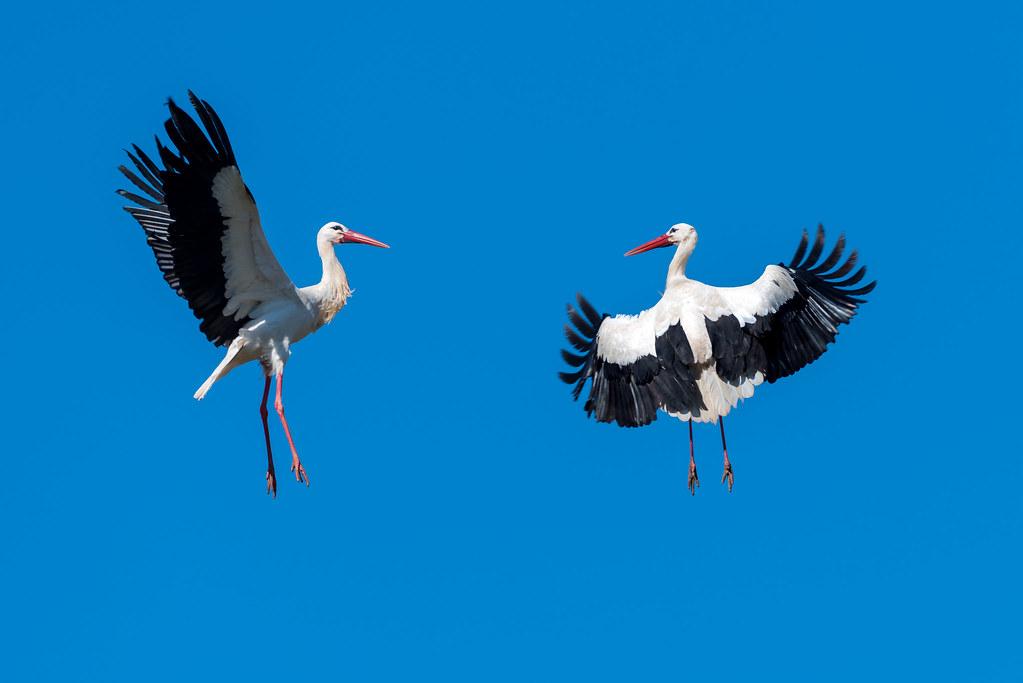 White Storks Fighting