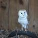 Warwick Castle: Barn Owl