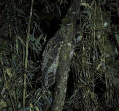 Rufous-banded Owl (Strix albitarsis)