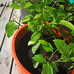Meyer lemon planting in Trees in pots by shiny