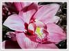 Cymbidium hybrid (Boat Orchid, Cymbidium Orchid))