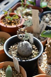 DSC_1252 Pelargonium triste  ペラルゴニウム トリステ