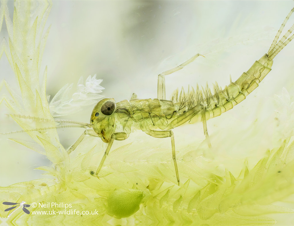 Pond olive mayfly nymph