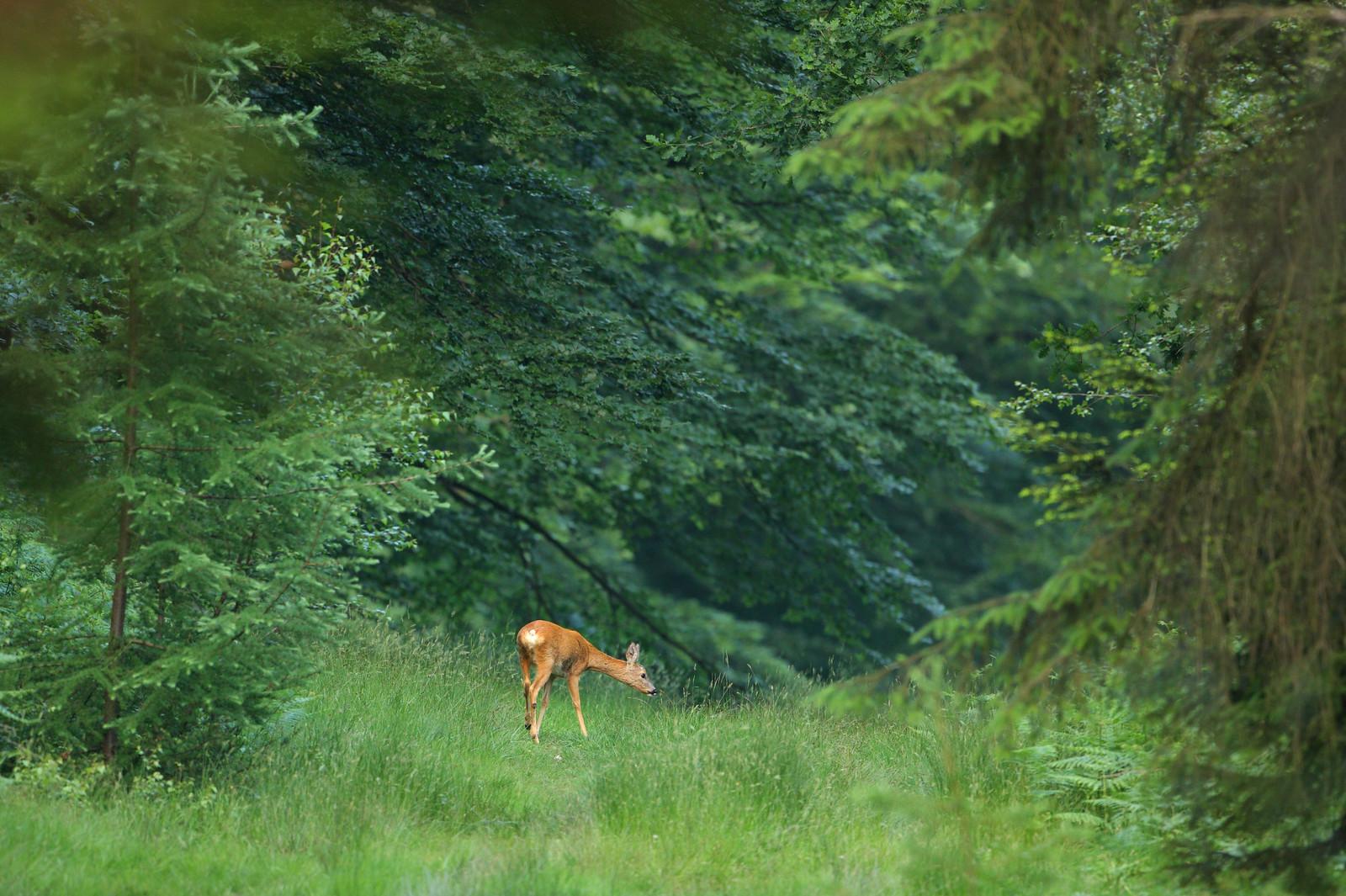 Roe deer in Forest Glade