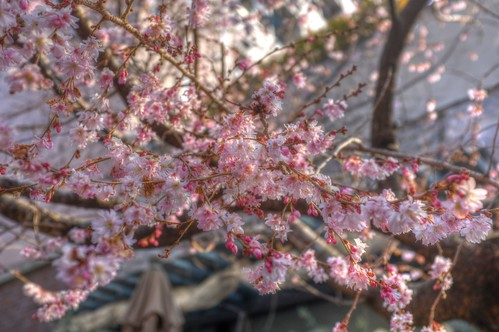 'Oike-Sakura', Kyoto on 24-02-2018 (5)