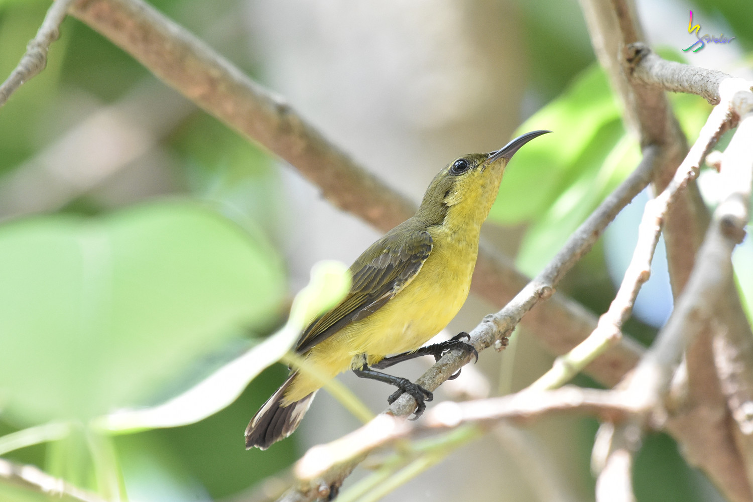 Olive-backed_Sunbird_2873