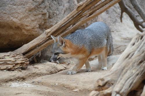 Desert Museum fox