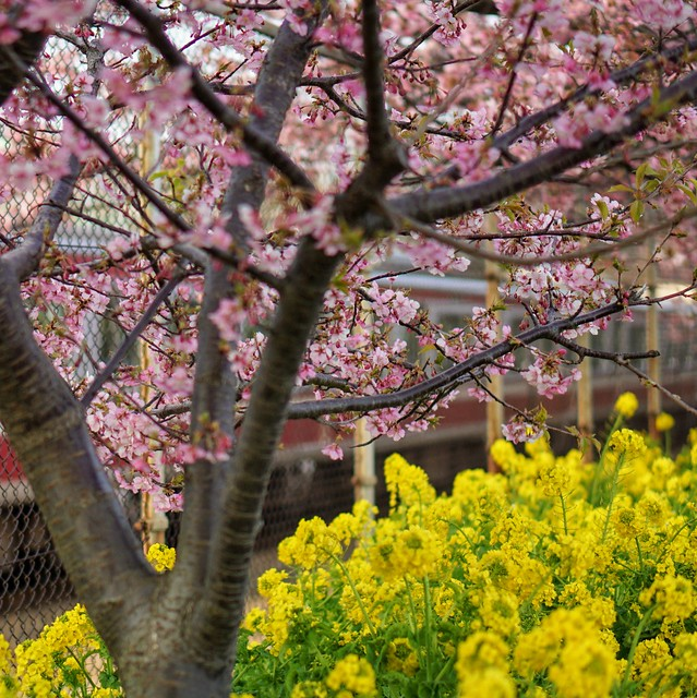 DSC07157~01三浦海岸桜まつり