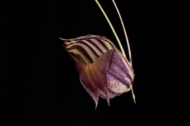 Miniatur-Orchideen Teil 4 - Seite 5 39779245072_4db513f292_c