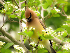 Cedar Waxwing eating flowers