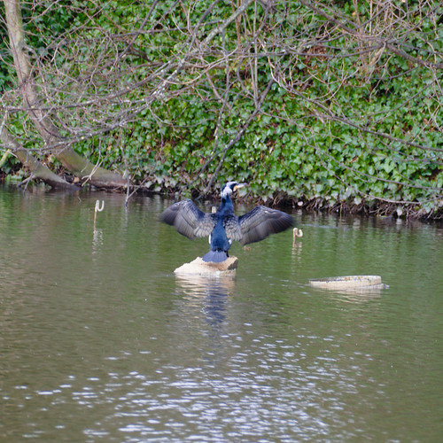 Cormorant, Minster Pool, Lichfield