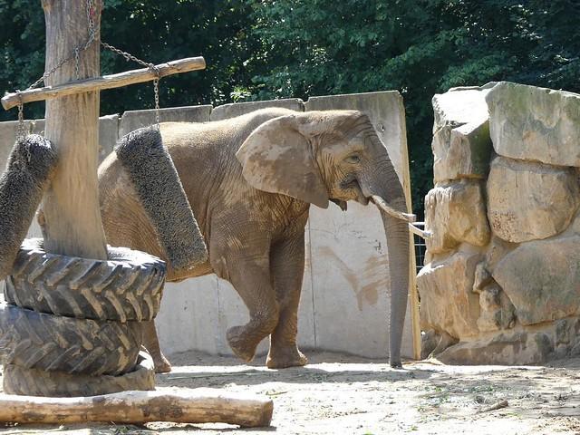 Afrikanischer Elefant, Zoo Dresden