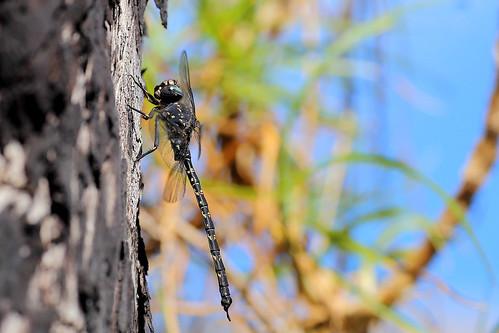 Austroaeschna anacantha