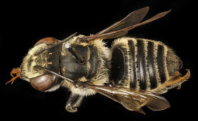 Megachile petulans, f, back, Charleston Co., SC_2017-04-07-18.43.59 ZS PMax UDR