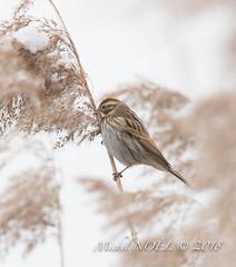 Bruant des roseaux - Emberiza schoeniclus - Common Reed Bunting : Michel NOËL © 2018-2636.jpg