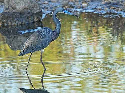Tricolored Heron 01-20180306