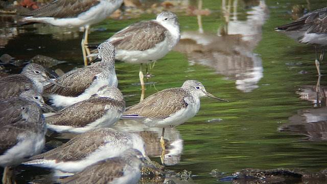 Common greenshanks (Tringa nebularia)
