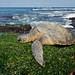 Sleeping Honu_DSC04254_02