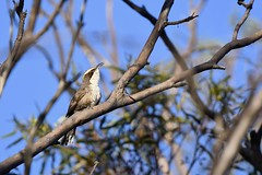 White - browed Babbler