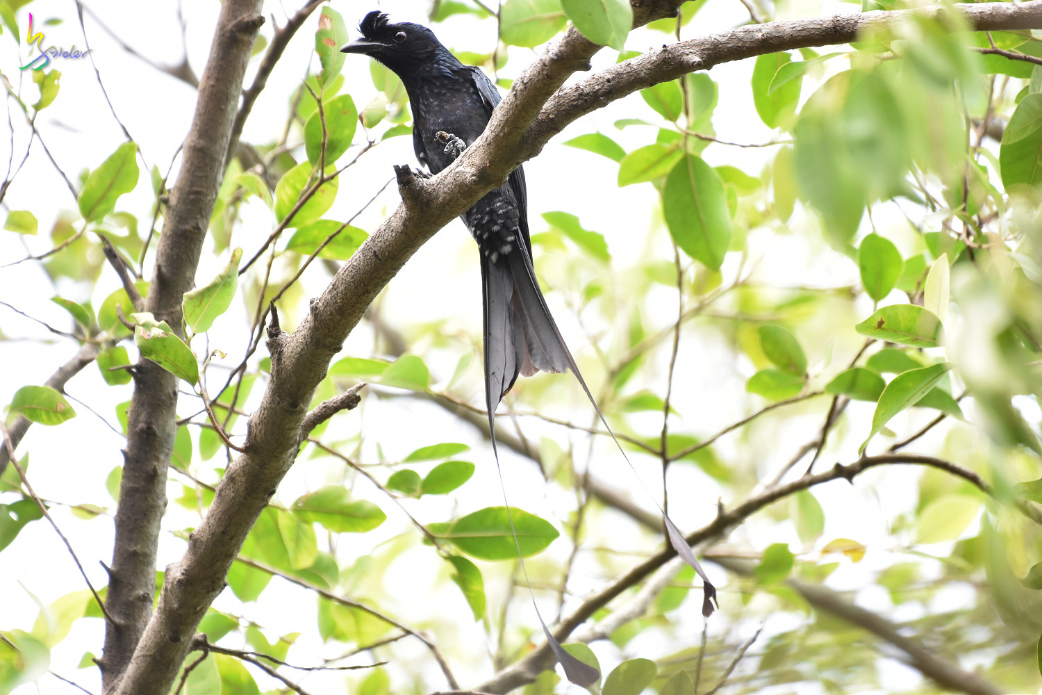Greater_Racket-tailed_Drongo_1315