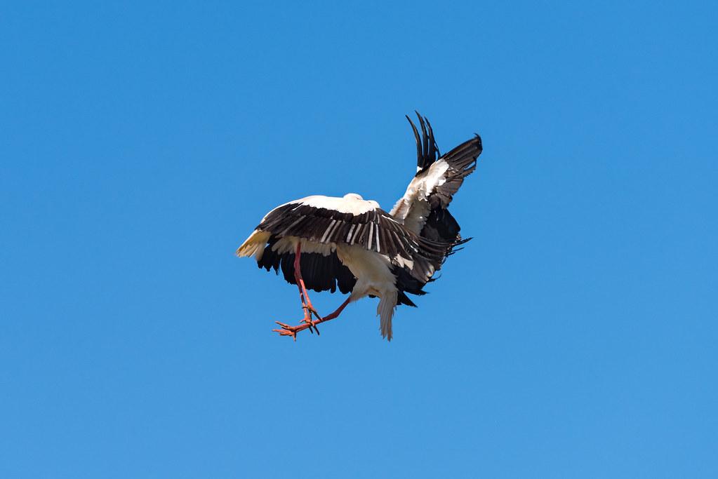 White Storks Fighting (Shot 6 of 11)